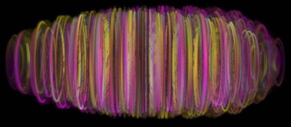 Drosophila twist