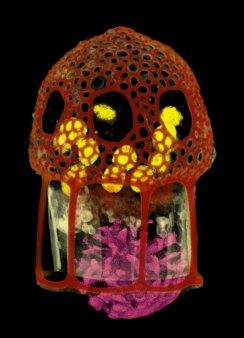 Dictyocysta lepida