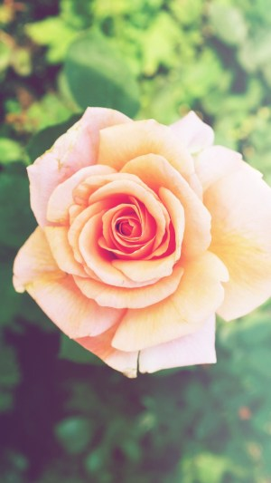 iphone rose pink flower plus wallpapers nature android mobile unfold lock screen phone backgrounds 4k iphonewalls pixelstalk wallpaperaccess wallpaperboat read