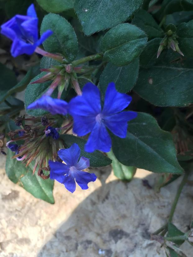 Dwarf plumbago is a ground cover that reaches about 18 inches in height. (Photo by Joshua Siskin)
