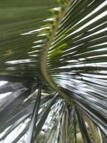 Palm Leaf, Thailand