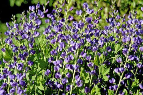 Indigo Plant image