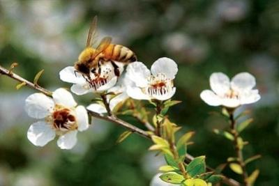 Manuka best honey