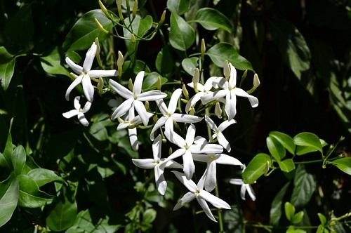 चमेली-के-फूल
