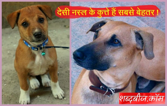 Indian desi dog breed