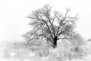 Old Tree in Fog