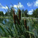 A bunch of cattails framed by the summer sky