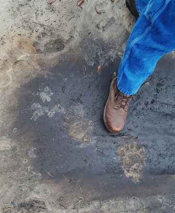 Yep those are bear prints - big ones! He wandered through the Settlement one night