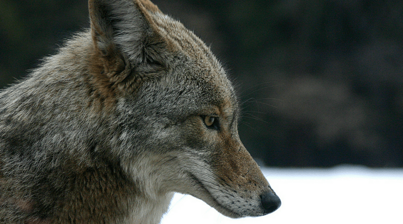 Animals in Summer: Coyotes