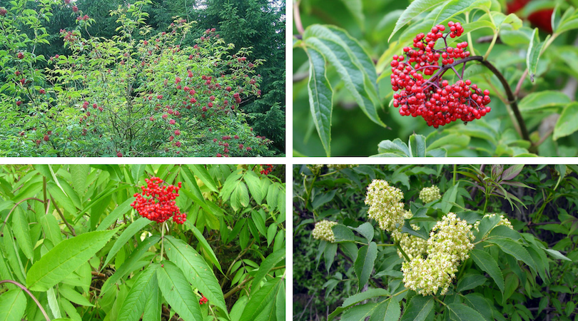 Native Plant of the Month: Scarlet Elderberry