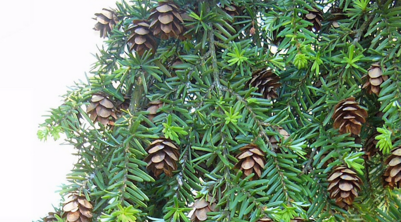Native Plant of the Month: Western Hemlock