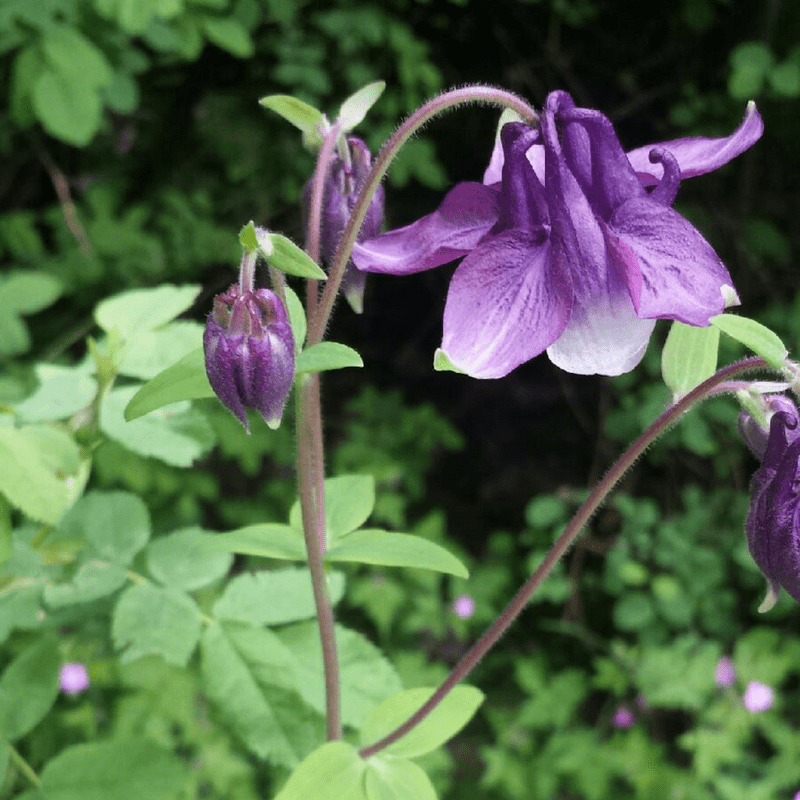 Native Plant of the Month: Columbines