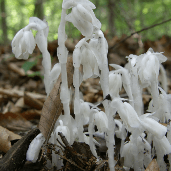 Native Plant of the Month: Ghost Pipe