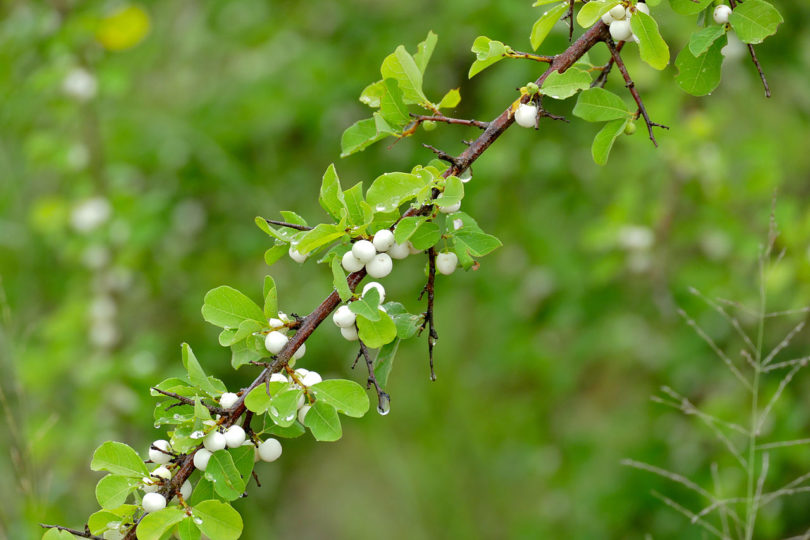 Native Plant of the Month: Snowberry