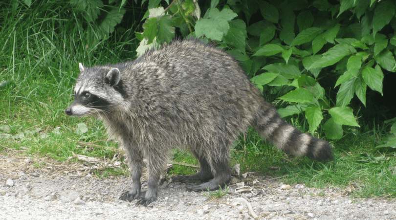 Animals in Summer: North American Racoon