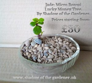 micro-jade-moneytree-luckybonsai.jpg