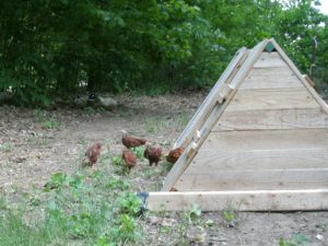 shady oak and sassafras free range chickens young tractor