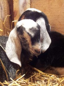 goat kids nubian birth