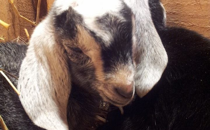 goat kids nubian birth