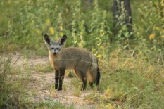 Bat Eared Fox (30)