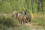 Bat Eared Fox (9)