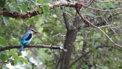 Woodland Kingfisher - Jane Steen