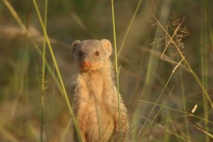 Banded Mongoose (28)
