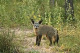 Bat Eared Fox (32)
