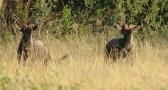 Blou Wildebees (5)