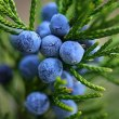 juniper-berry-2
