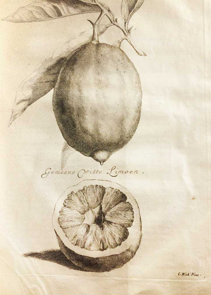 Etching of a lemon
