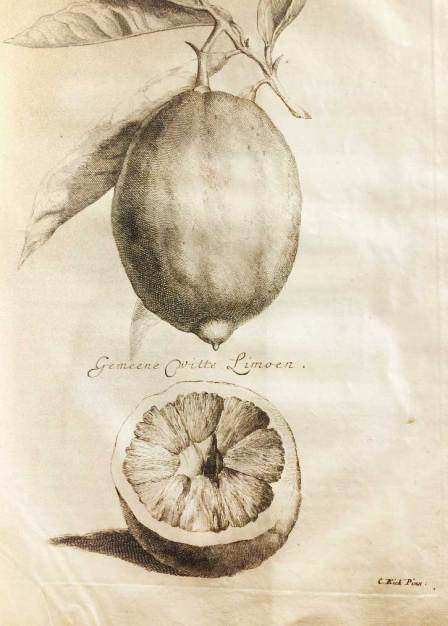 Etching of a lemon from an Italian garden cultivation manual