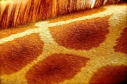 Giraffe spots ~ Taronga Zoo, Sydney, Australia