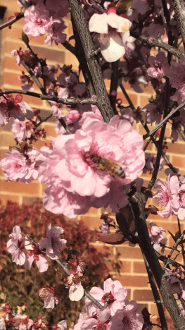 Bee and blossom.png
