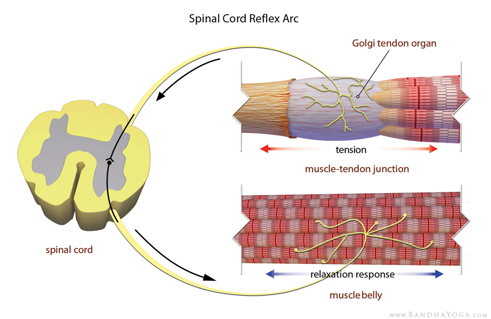 golgi tendon organ, spinal cord reflex arc