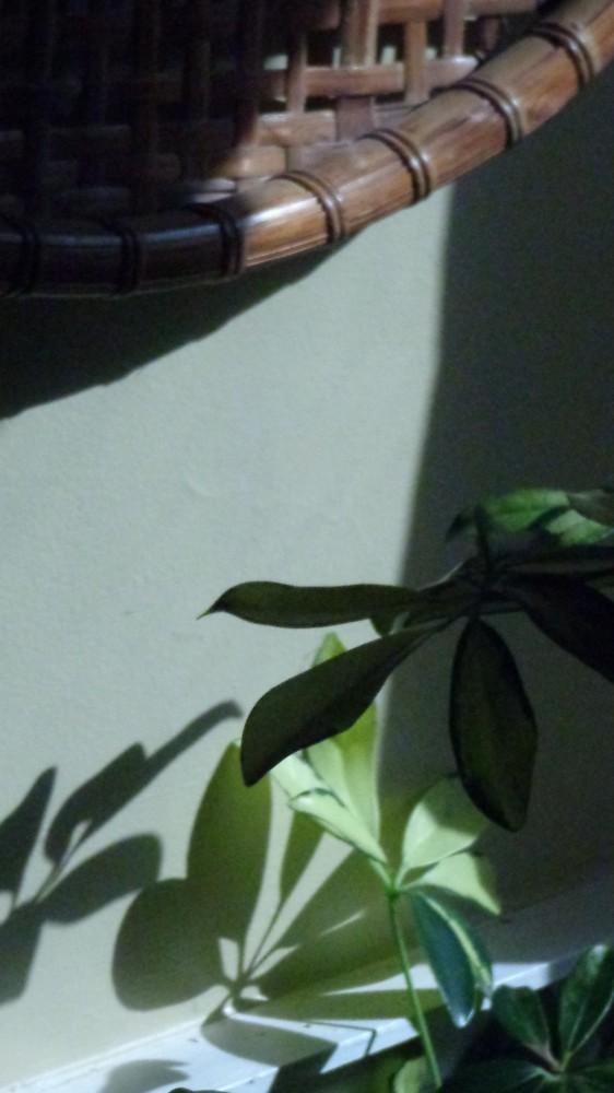 schiffalera plant