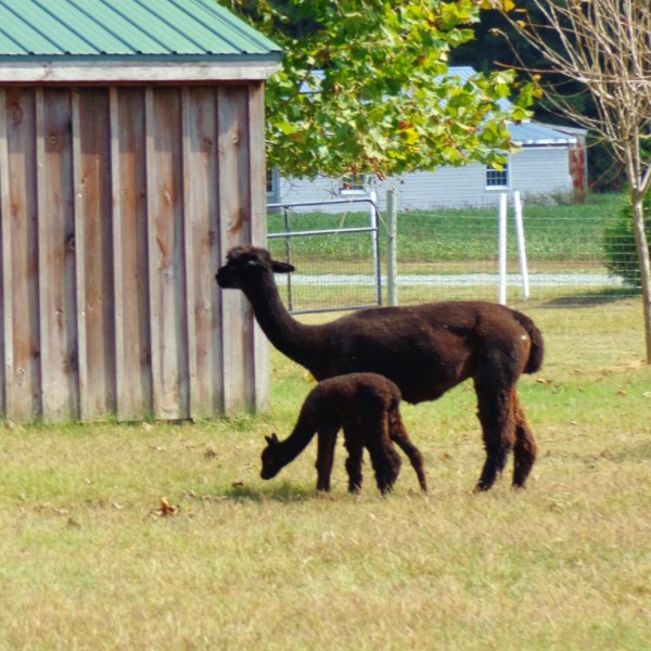 Our Day At the Alpaca Farm
