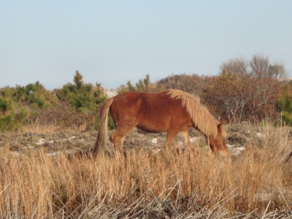 Wild horse at Assateague Island, MD on Shalvee.com
