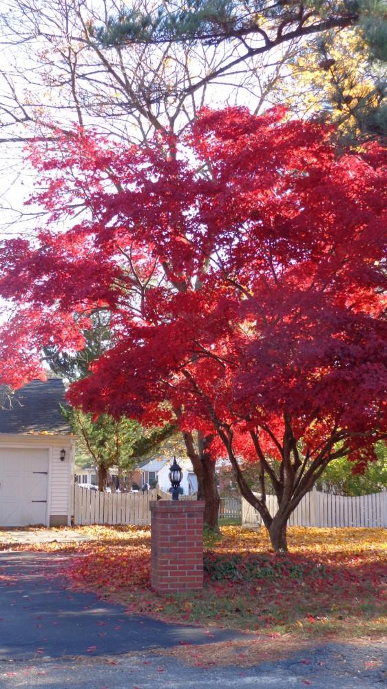 Maple tree on Shalavee.com