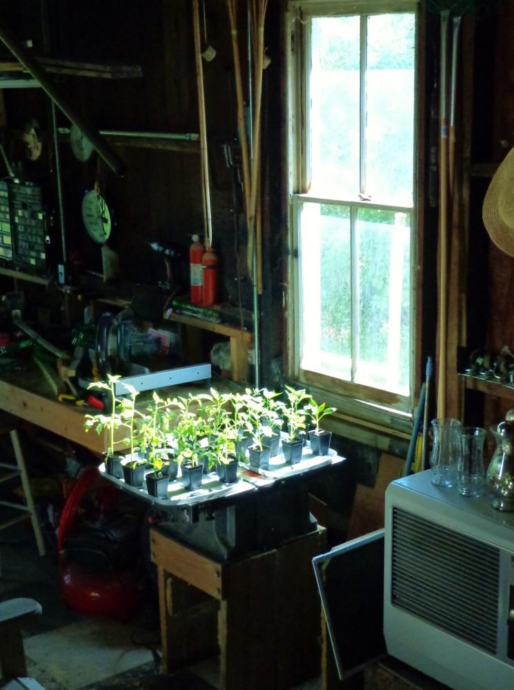 Pregrown planties from Burpee on Shalavee.com