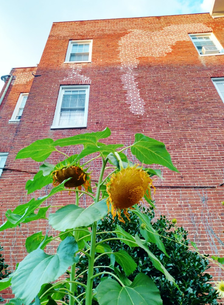 Sunflowers and bricks for an urban garden oasis in Annapolis on Shalavee.com