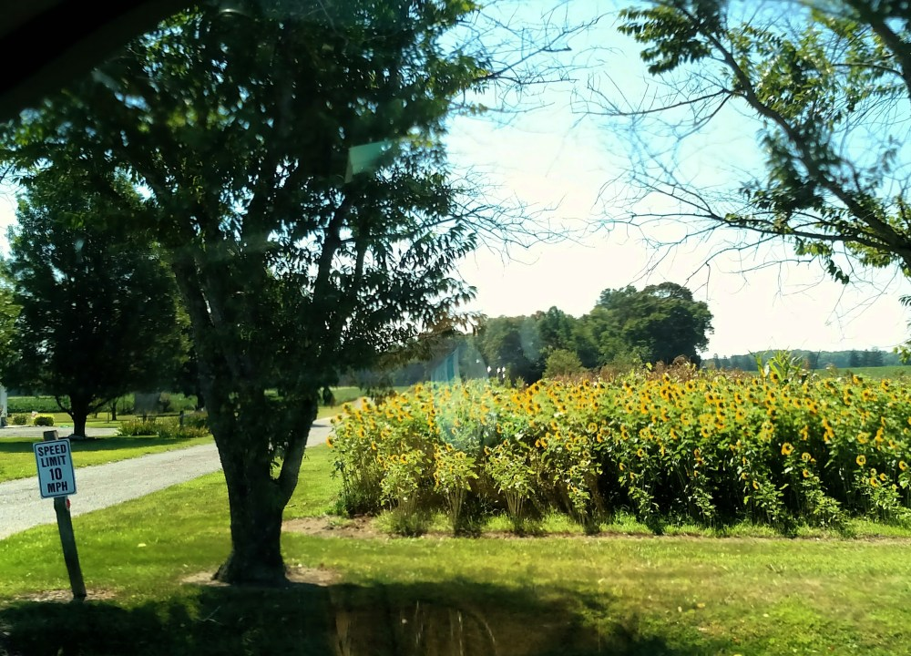 sunflowers on Shalavee.com