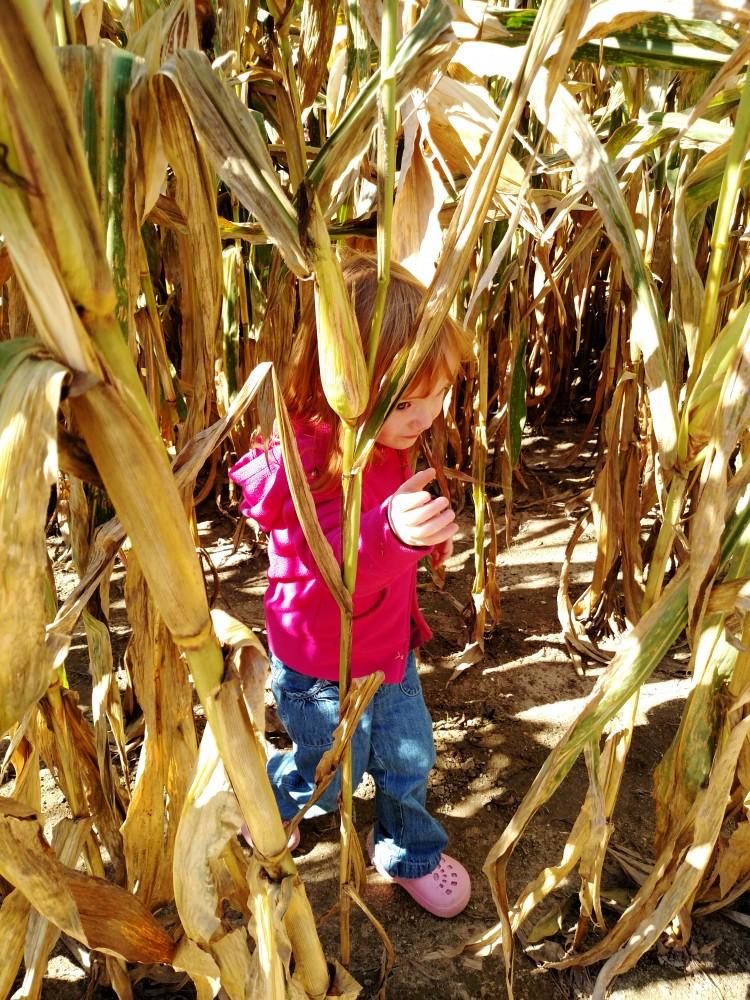 in the cornfield on Shalaveecom