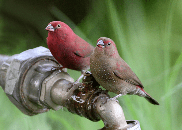 red-billed-firefinch-pair on Shalavee.com