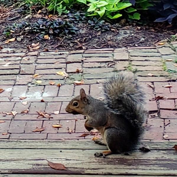 Sacrificial Squirrel