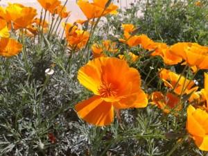 San Diego poppies