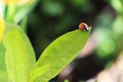 ShallynYoung-ladybug