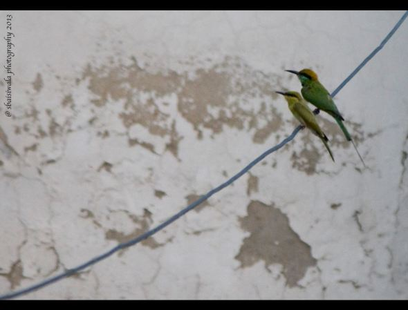 I love the sight of Green Bee eaters  cavorting around in pairs on my terrace!