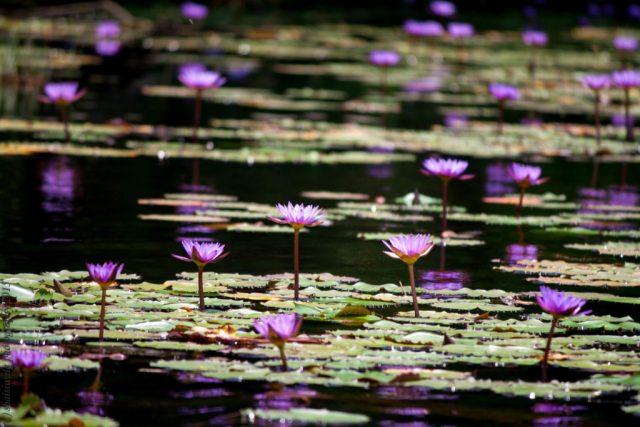blie-waterlily-lake-pookote-pookode-kalpetta-wayanad-kerela-india-travel