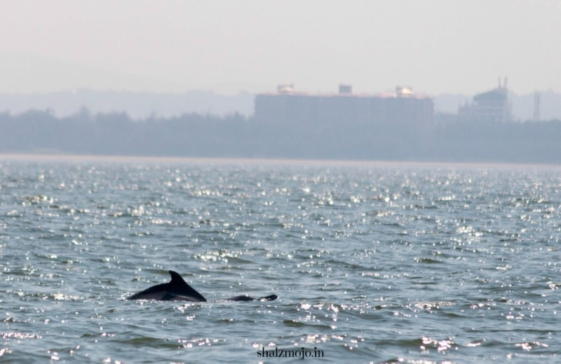 Dolphin-A2Z-BADGE-2017-blogging-challenge-theme-reveal-travel-stories-picture-speaks-louder-than-words-april-shalzmojosays-dolphins-arabian-sea-freshwater-goa-maharashtra-mumbai-tourist-India-boatcruise